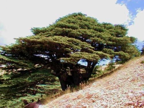 Cedars Of Lebanon ~ Cedar tree
