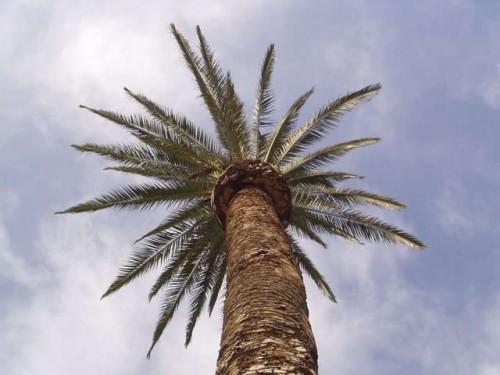 palm-tree1_500_375